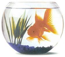 Origine et histoire du poisson rouge blog de chamyfred for Faux poisson rouge