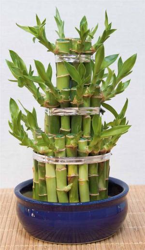 la plante porte bonheur des asiatiques vraiment tr s l gante dans la maison frederic. Black Bedroom Furniture Sets. Home Design Ideas